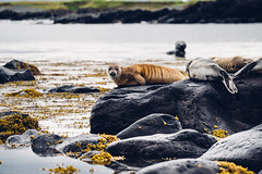 Seals in Iceland (Julia Dunlop) Tags: seals beach cold moody sealion animal sea water chill iceland travel zeiss70200mm