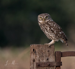 On the watch. (JurgenMaassen) Tags: littleowl athenenoctua lumix panasonic steenuil steinkauz panasonicdcg9 leicadg100400f4063 owl uil eule
