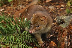 Spotted-tailed Quoll (Caleb McElrea) Tags: spottedtailedquoll dasyurid carnivorousmarsupial marsupial carnivore devilscradle cradlemountainlakestclairnationalpark cradlemountain unesco worldheritagesite tasmaniansouthwestwilderness tasmania wilderness