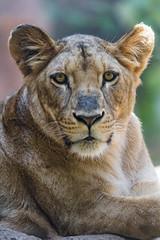 Pretty lioness looking at me (Tambako the Jaguar) Tags: lion big wild cat female resting posing portrait close lying looking lioness loroparque tenerife spain nikon d5