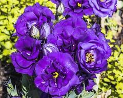 Blue Flowers (rumerbob) Tags: blueflower flower floral flowergarden fauna flowerphoto botany botanicalgardens botanical macro macroflower macrophotography nature naturewatcher naturephotography longwoodgardens canon7dmarkii canon100mmmacrolens