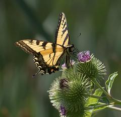 Eastern Tiger Swallowtail and Burdock (vischerferry) Tags: easterntigerswallowtail swallowtail newyorkstate burdock papilioglaucus wildflower