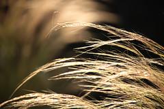 Le vent dans mes cheveux....-1 (FLOCVROFF) Tags: grasses light herbacees chivaroff proxi
