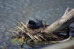 634 - Bastia au bord de la lagune (paspog) Tags: bastia lagune corse pouledeau corsica france mai may 2018 nest nid