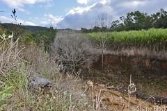 (shaneblackfnq) Tags: carpet python morelia spilota shaneblack snake reptile hollow log mt mount molloy julatten fnq far north queensland australia tropics tropical