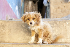 Wee Puppy (_aires_) Tags: aires iris puppy scruffy cute thelook dog canoneos5dmarkiv canonef2470mmf28liiusm yaso yasolimaperu