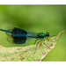 Banded Demoiselle (Alan-Taylor) Tags: bandeddemoiselle calopteryxsplendens damselfly insect