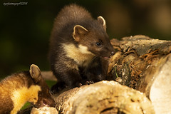Innocence (Ross Forsyth - tigerfastimagery) Tags: pinemarten marten pine scotland wildlife wild nature free mammal scottish perthshire bobnaturenuts hide adult young kit female