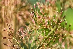 keep love in your ♥ (1crzqbn) Tags: plumepoppy dof bokeh sunlight light 29522018 inmygarden plants outside nature flor flowers