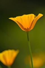 California Poppy (pstenzel71) Tags: blumen natur pflanzen eschscholziacalifornica californiapoppy goldmohn flower darktable bokeh