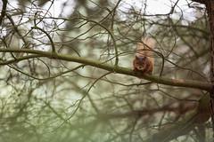 Foxtrot Oscar (mattwalkerncl) Tags: 5dmkiv canon consett content eos england general northumberland otherkeywords outdoors places powhill redsquirrel uk wild wildlife woodland