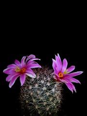 mammillaria boolii (magnitferro) Tags: cactus mammillaria boolii flower