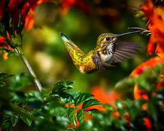 """Flying Gems"" The Allen's Hummingbird (Cathy Lorraine) Tags: hummingbird nature outside flowers sunshine california neighborhood beauty bird macro flower leaf animal garden foliage"
