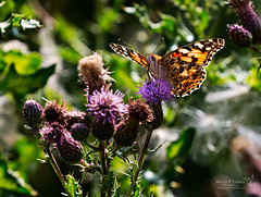 Insects Malton Yorks 20 July 2018 00056.jpg (JamesPDeans.co.uk) Tags: forthemanwhohaseverything england flowers thistle nature printsforsale insects malton unitedkingdom europe britain yorkshire butterfly gb wwwjamespdeanscouk greatbritain paintedladyvanessacardui plants landscapeforwalls jamespdeansphotography uk digitaldownloadsforlicence