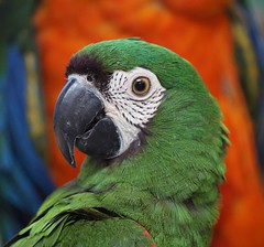 Mini Macaw (ChrisF Photography) Tags: mini macaw parrot bird exotic tropical animal feathers adorable cute beautiful green