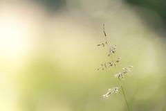 grass (ianmiddleton1) Tags: grass sunshine seeds summer