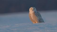Longing for cold weather! (Earl Reinink) Tags: bird animal wildlife nature outdoors raptor earl reinink earlreinink owl snowyowl rardhaudza