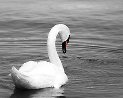 Swan Selective Color (PiccaPixel) Tags: torontoislands toronto lakeontario ontario lake swantorontoislands torontoislandsswan swanphotography selectivecolour selectivecolor selectivecolorphotography swanselectivecolor swan photography selective