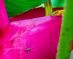 Heliconia with guests (risaclics) Tags: 50mm18macro 7dw hawaii july2018 nikond610 oahu wahiawabotanicalgarden fauna flora heliconia insects smileonsaturday uniflona