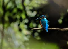 Kingfisher (selvagedavid38) Tags: kingfisher zoom telephoto essex fishing hunting predator