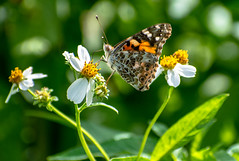 Butterfly on a flower (Shawn Blanchard) Tags: butterfly flowers flower green nature wildlife cmwdgreen plant insect macro garden