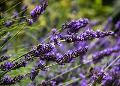London   |   Bumblebee Lavender (JB_1984) Tags: bumblebee bee insect lavender flower plant bokeh cemetery graveyard highgatecemetery highgate londonboroughofcamden london england uk unitedkingdom nikon d500 nikond500