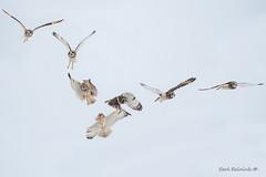 a miss... (Earl Reinink) Tags: owl fight thief bird animal raptor shortearedowl earl reinink earlreinink flight nature outdoors rrhaeaudha