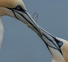 Eye to Eye. (pitkin9) Tags: birds gannets eyetoeye nature wildlife bemptoncliffs eastyorkshire england rspbreserve