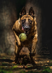 Picture of the Day (Keshet Kennels & Rescue) Tags: rescue kennel kennels adoption dog ottawa ontario canada keshet large breed dogs animal animals pet pets field tree forest nature photography belgian malinois chase ball play run speed fast focus dramatic light tennis