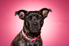 Pretty in Pink 1 (Christina Draper) Tags: dog hound staff terrier pink studio flash pet canine