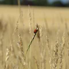 Ladybird in a field. (ParkNeukPack) Tags: sx60 canon field ladybird