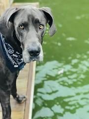 (McLean.Harper) Tags: mtnmac cuteness puppies outsidedogs bigsdogs bluedane swim lakedog dane pup pups nc lake blue beautiful buddy bestfriend love dog greatdane