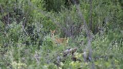 Surprised (ZeGaby) Tags: animals animaux chevreuil montagnedereims naturephotography pentaxda300mm pentaxk1 rencontre viesauvage wildlife avenayvaldor grandest france fr