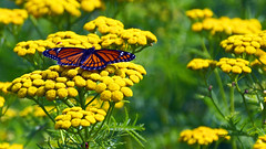 Viceroy (Limenitis archippus), Miller Creek - Duluth MN USA, 08/15/15 (TonyM1956) Tags: elements macrounlimited sonyalphadslr tonymitchell viceroy limenitisarchippus millercreek duluth sonyphotographing