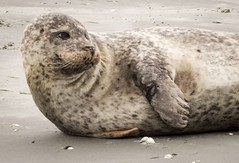 IMG_20180729_182547_917 (ifro_photography) Tags: seal animal nature wildlife