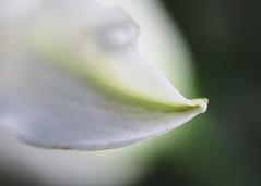 Lily's Edge (lclower19) Tags: lily flora macro shallowfocus closeup white green macrofriday flower