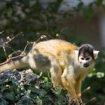 black-capped squirrel monkey thumbnail