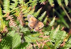 Gatekeeper Butterfly, Blaen Bran, Upper Cwmbran 9 August 2018 (Cold War Warrior) Tags: gatekeeper butterfly lepidoptera blaenbran cwmbran pyroniatithonus