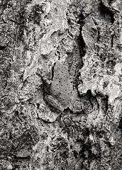 (giggie larue) Tags: animapal treefrog bw blackwhite patternstextures nature