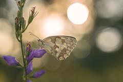 Javy Nájera Fotografía (Javy Nájera) Tags: javynájera larioja aproximación campo color flor insecto macro macrofotografía mariposa paisaje verano vida