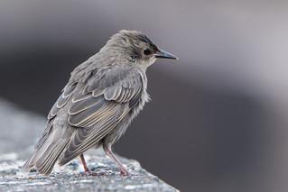 Starling Juv. Sturnus vulgaris