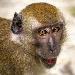 \(  °□°)/ *Gasp* (thecrapone) Tags: closeup expression face animal monkey naturereserve sungeibuloh forest jungle ape look glance asia shocked surprised eyecontact macaque longtailedmacaque crabeatingmacaque macacafascicularis lumix g85 14140mm