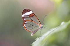 Greta oto (fabriciodo2) Tags: gretaoto papillon macro nature tamron90