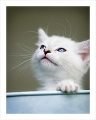 Day Dreams (Domain Barnyard) Tags: cute cat photography kitten feline flickr sweet bokeh adorable kitty august 2006 canoneos20d whiskers gato precious dreamy curious awww creamy 6weeksold 1on1 tingey greatshots topphotoblog domainbarnyard mastersofphotography catsworld