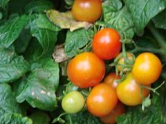 cherrytomatos