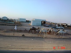 Some more camels at the camel souk