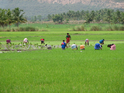 Rice Paddy 3