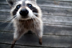 Snarf. (mandrake68) Tags: cute animal fuzzy deck coon raccoon scavenger