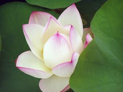 Peace (JenniferNelms) Tags: pink white flower green nature floral botanical interestingness jen quiet lotus abg top20flower atlantabotanicalgarden 108 excellence interestingness108 i500 mywinners abigfave jenatl