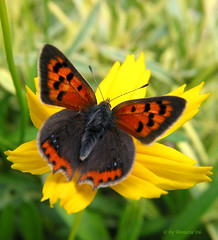 Lycaena phlaeas / Kleine Vuurvlinder ( Annieta  Off / On) Tags: summer orange sun holland color macro nature netherlands beautiful dutch yellow closeup canon wow wonderful butterfly garden insect ilovenature flying interestingness perfect europa european colore 500v20f close outdoor couleurs nederland natuur scout 2006 best powershot explore papillon zomer 200views g2 tuin falter myfavorites mybest insekt paysbas augustus schmetterling vlinders vlinder 1on1 kleur yourfavorites powershotg2 dichtbij canonpowershotg2 vuurvlinder mpf cotcpersonalfavorite i500 vliegende annieta thebiggestgroup kakadoo multicoloredobject newphotographer mywinner abigfave supershots onlyyourbestshots 1on1allbugs bochoven vanbochoven top20flowerswithbugs mariposasdelmundo